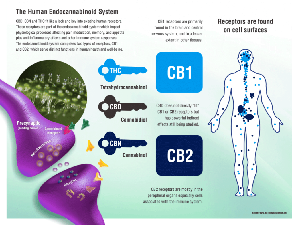 cannabinoid receptors cb1 cb2